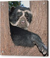 Spectacled Bear In Andean Foothills Peru Acrylic Print