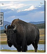 Speedy Bison In Yellowstone National Park Acrylic Print