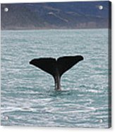 Sperm Whale Diving Acrylic Print