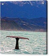 Sperm Whale Diving New Zealand Acrylic Print