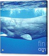 Sperm Whale Acrylic Print