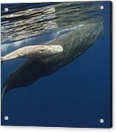 Sperm Whale Mother And Albino Baby Acrylic Print