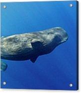Sperm Whale Pyseter Macrocephalus Acrylic Print