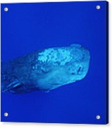 Sperm Whale With Remoras Acrylic Print