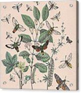 Sphingide - Thrididae - Seslidae Acrylic Print