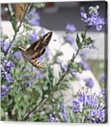 Sphinx Moth Acrylic Print