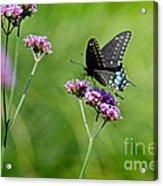 Spicebush Swallowtail Butterfly In Garden Acrylic Print