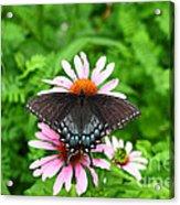 Spicebush Swallowtail Butterfly Acrylic Print