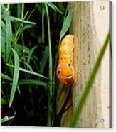 Spicebush Swallowtail Caterpillar Acrylic Print