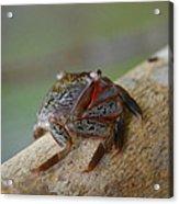 Spider Crab Acrylic Print