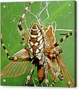 Spider Eating Moth Acrylic Print
