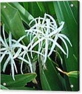 Spider Flower In Sint Maarten Acrylic Print