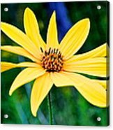 Spider Flower Acrylic Print