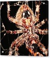 Spider - Hairy Acrylic Print