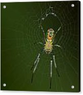 Spider In Mexico Acrylic Print