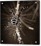 Spider In Waiting Acrylic Print