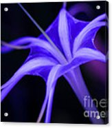 Spider Lilly  Acrylic Print