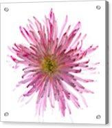 Spider Mum Flower Against White Acrylic Print