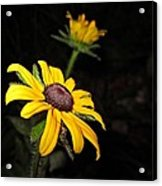 Spider On Rudbeckia Acrylic Print