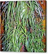 Spider Plant Acrylic Print