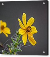 Spider Web On The Flower  Acrylic Print