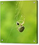 Spider Wrapping Its Food Acrylic Print