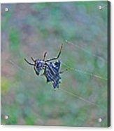 Spined Micrathena Orb Weaver Spider - Micrathena Gracilis Acrylic Print