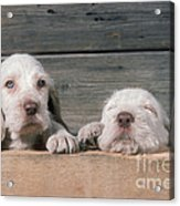 Spinone Puppies Acrylic Print