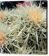 Spiny Barrel Cactus Acrylic Print