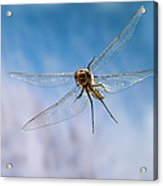 Spiny Baskettail Epitheca Spinigera Acrylic Print
