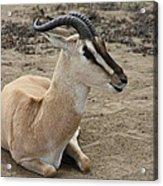 Spiral Horned Antelope Acrylic Print