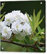 Spirea Blossom Acrylic Print