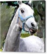 Spirited Grey Horse Acrylic Print