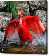 Splish Splash - Red Ibis Acrylic Print