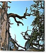Spooky Bristlecone Pine At Spectra Point On Ramparts Trail In Cedar Breaks National Monument-utah  Acrylic Print
