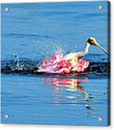 Spoonbill Bath Time  Acrylic Print