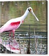 Spoonbill In The Pond Acrylic Print