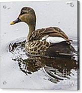 Spot-billed Duck  Acrylic Print