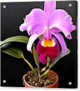 Spotlight On Purple Potted Cattleya Orchid Acrylic Print