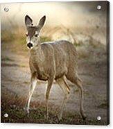 Spotlighted Mule Deer Acrylic Print