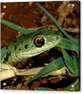 Spotted Bush Snake Philothamnus Semivariegatus Acrylic Print
