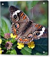 Spotted Butterfly Acrylic Print