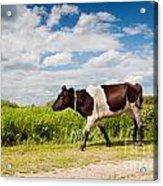 Calf Walking In Natural Landscape  Acrylic Print