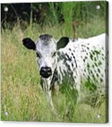 Spotted Cow In The Forest Acrylic Print