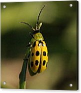 Spotted Cucumber Beetle Acrylic Print