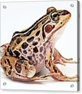 Spotted Dart Frog Acrylic Print by Lanjee Chee