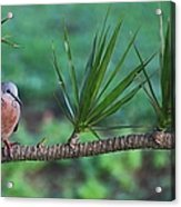 Spotted Dove Acrylic Print