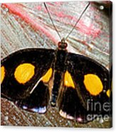 Spotted Grecian Shoemaker Butterfly Acrylic Print