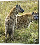 Spotted Hyaena Acrylic Print