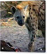 Spotted Hyena Acrylic Print
